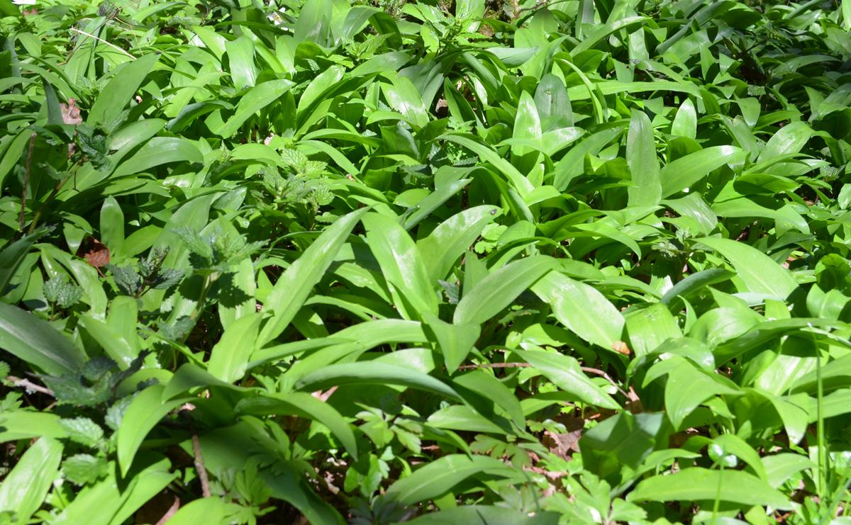 Junge Bärlauchblätter