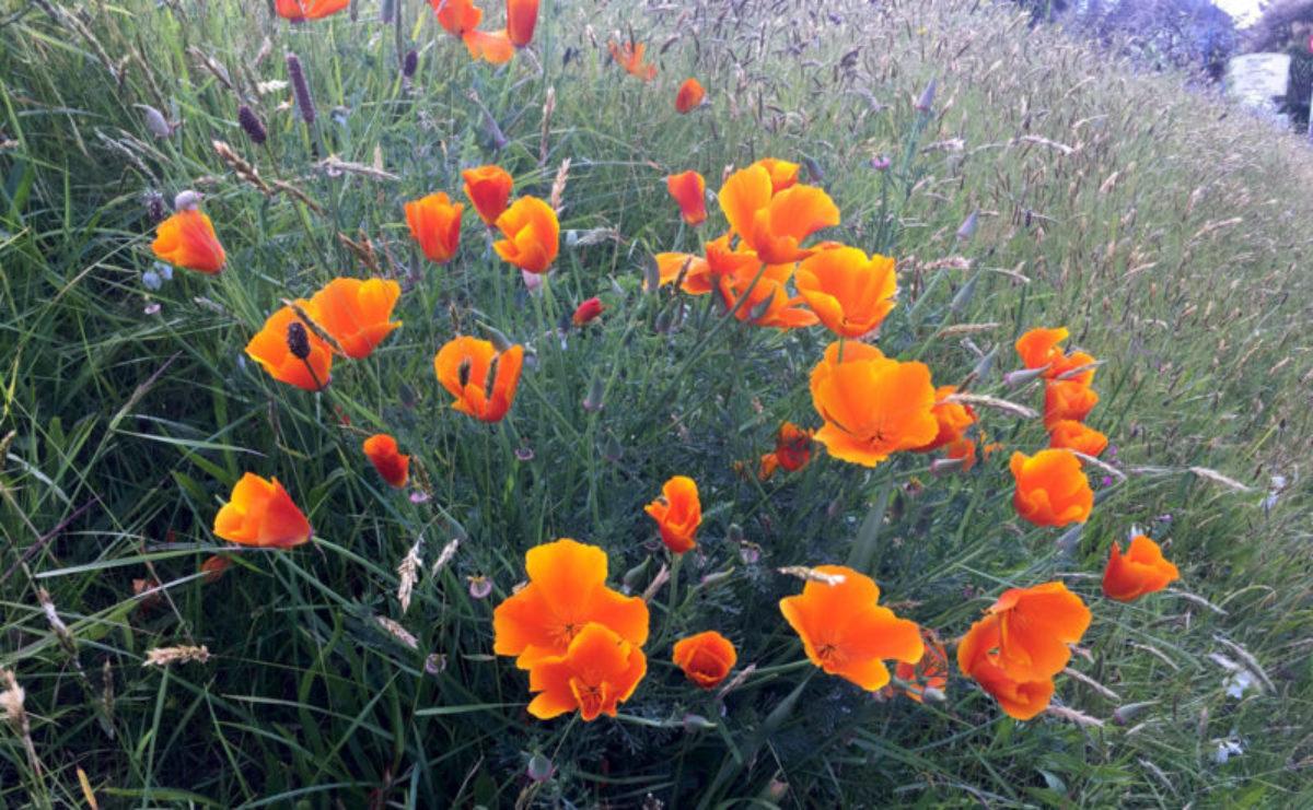 Blumen am Wegrand bei St. Brelade